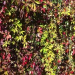 Photo of colourful bright green and red leaves on a wall