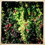 Photo of colourful bright green and red leaves on a wall, with Hipstamatic effect